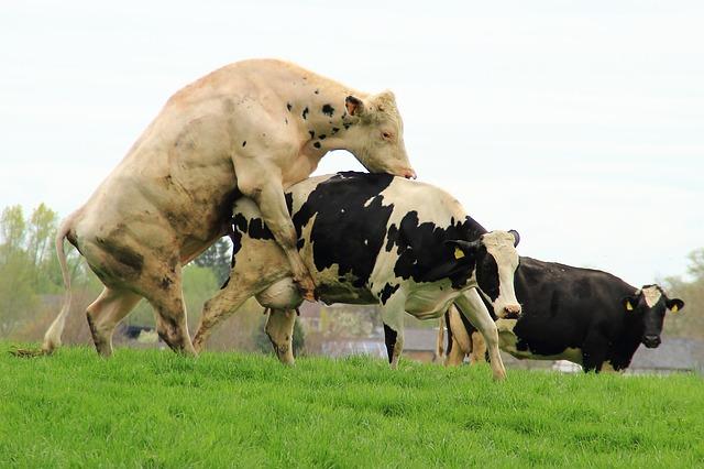Zwei Kühe bei der Paarung auf der Wiesen mit Kuh-Voyeur im Hintergrund